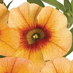 Calibrachoa, Aloha: Tiki Orange
