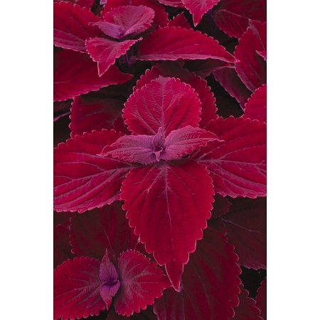 Coleus Designer Collection Ruby Road Great For Container