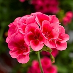 Interspecific Geranium, Calliope: Rose Splash