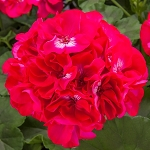 Interspecific Geranium, Calliope:Hot Rose
