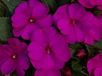 Upright Impatiens, Sunpatiens: Purple
