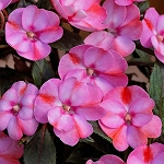 Upright Impatiens, Sunpatiens: Candy Pink