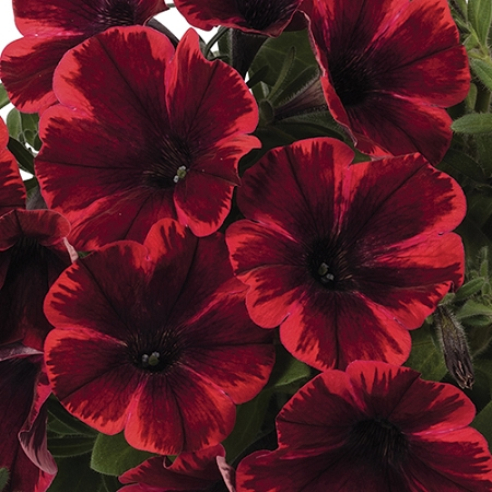 Petunia Sweetunia Fiona Flash Great For Container Gardening