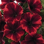 Petunia, Sweetunia Fiona Flash