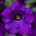 Petunia, Dekko Blue Improved