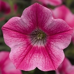 Petunia, Dekko Star Rose