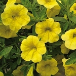 Calibrachoa, Neo: Deep Yellow