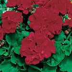 Zonal Cutting Geranium, Americana: Dark Red