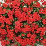Alpine Ivy Blizzard Geranium: Red