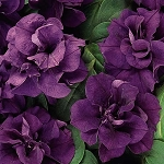 Double Petunia, Double Wave: Dark Blue