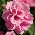 Double Petunia, Double Wave: Pink