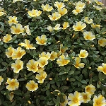 Portulaca, Colorblast: Lemon Twist