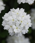 Verbena, Firehouse White
