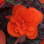 Begonia, Iconia Portofino Orange