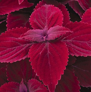 Coleus Designer Collection Beale St