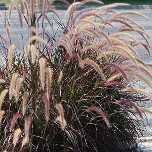 Ornamental Grass (Dwarf), Rubrum