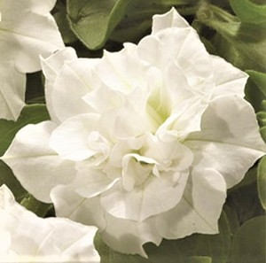 Double Petunia, Double Wave: White