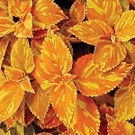 Coleus Designer Collection Freckles