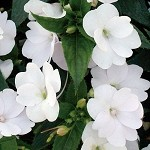 Upright Impatiens, Sunpatiens: White