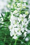 Angelonia, Angelos: White