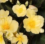 Begonia, I'conia - Sunshine
