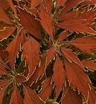Coleus Designer Collection Flamethrower Cajun Spice