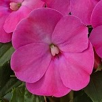 Upright Impatiens, Sunpatiens: Lilac