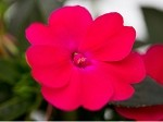 Upright Impatiens, Sunpatiens: Rose Glow