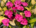 Impatien, Jazzy: Variegated Hot Pink