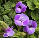 Torenia, Summer Wave Blue