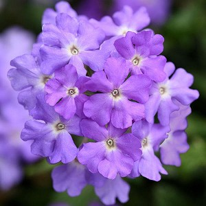 Verbena, Firehouse Grape